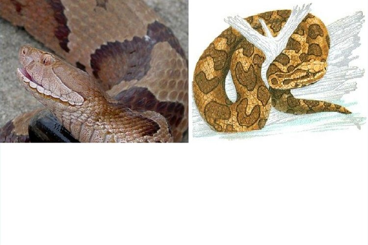 Copperhead left/Water Moccasin right