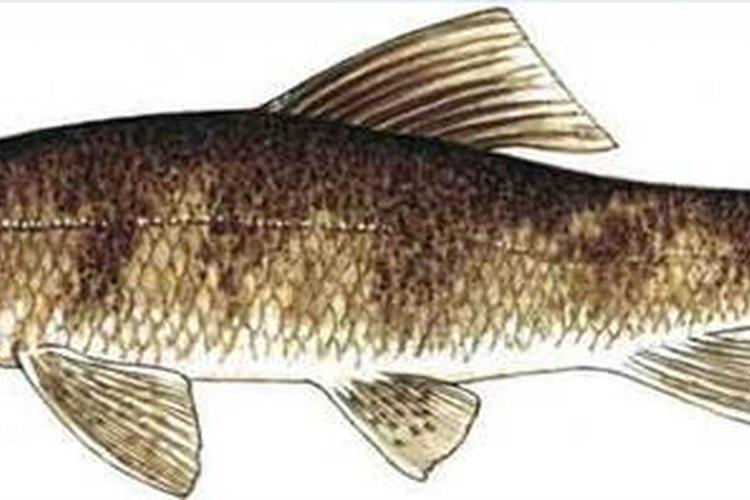 What are Sucker Fish?