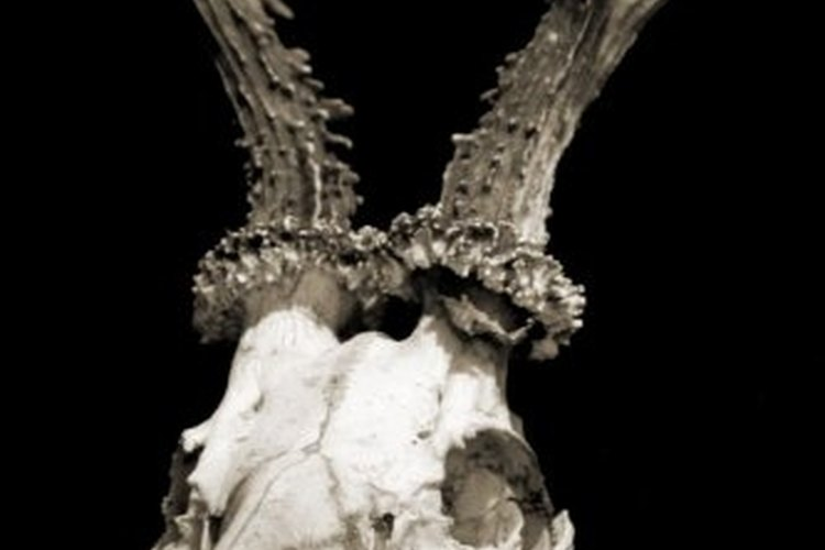 "A ""Texas mount"" displays a deer's skull."