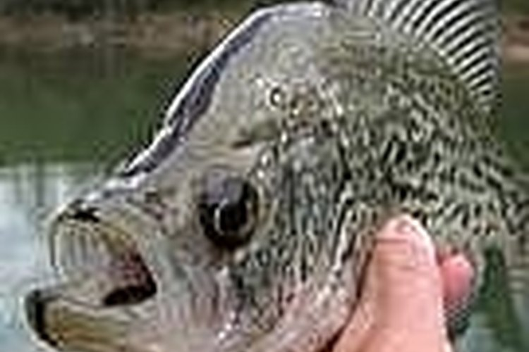 Catch Crappie in the California Delta