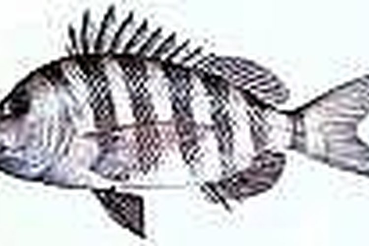 How to catch sheepshead gone outdoors your adventure for Sheepshead fishing rigs