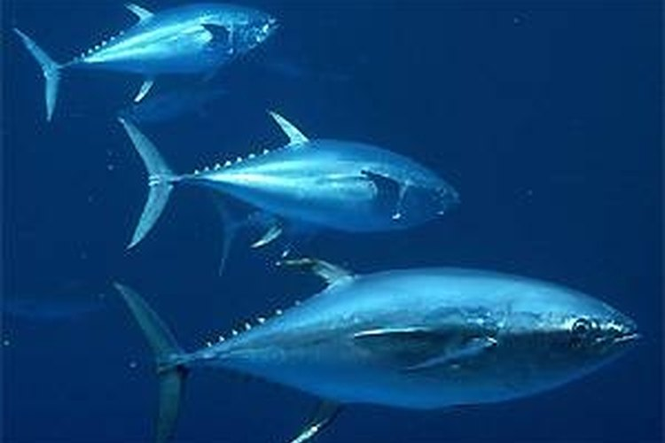 Tuna swim in the Atlantic Ocean