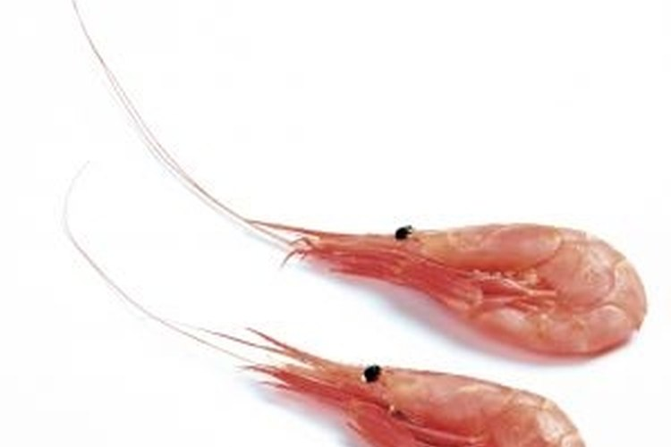 When properly cured, shrimp make excellent bait for fishing.
