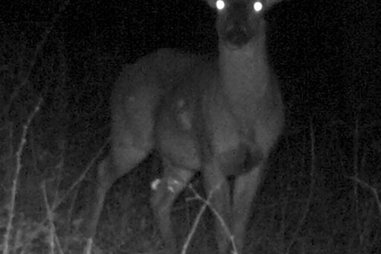 Moultrie infrared cameras are easy to use and can capture quality game images.