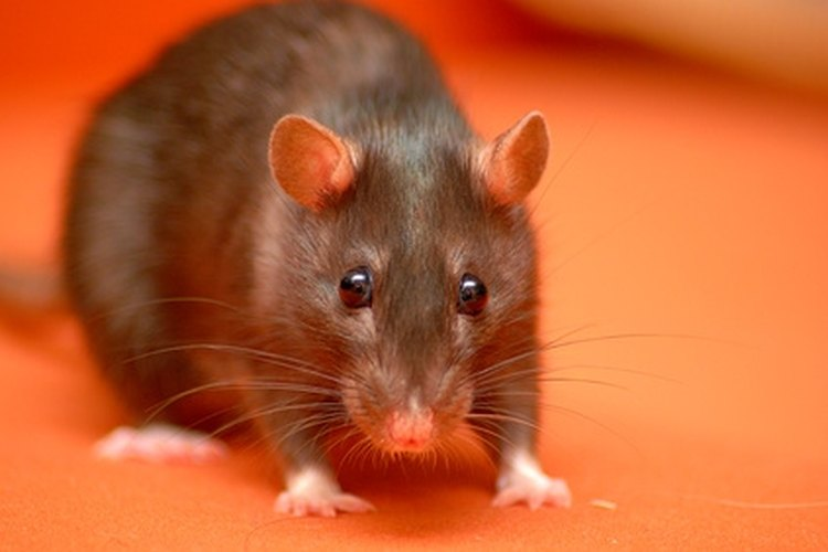 Rats can easily be snared.