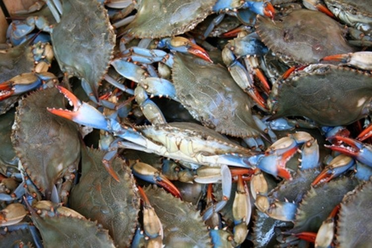 A valid Florida saltwater fishing license is required to harvest blue crabs.