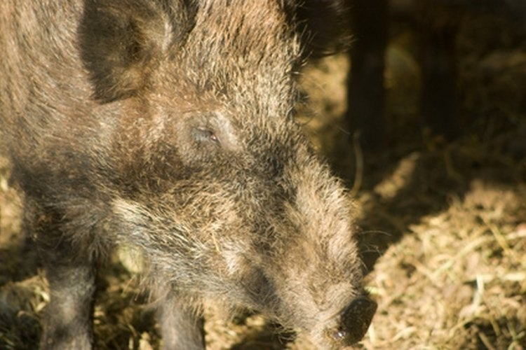 The Amarillo, Texas area offers excellent hog hunting.