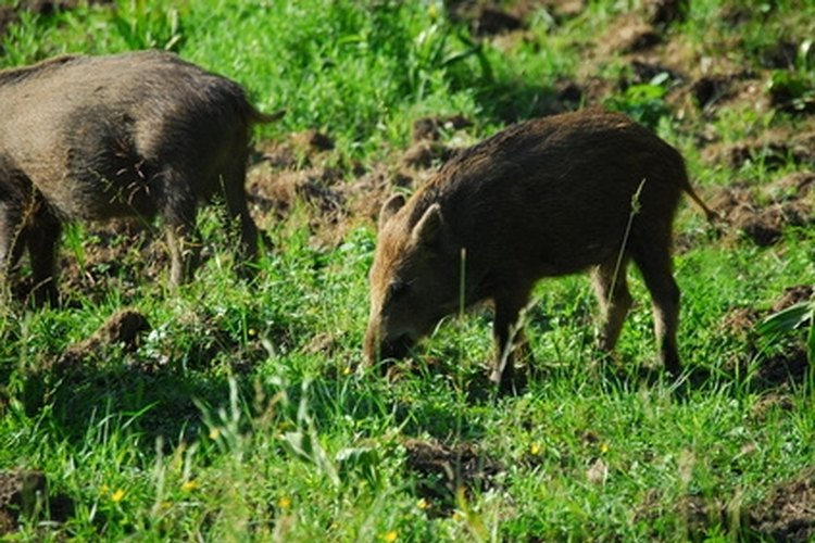 A wild hog has a straight tail. Their tails are never coiled like the tails of a domestic pig.