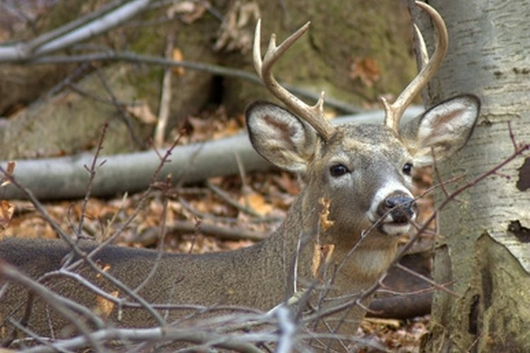 Whitetail bucks shed their antlers each year. Finding them involves knowing when and where to look.