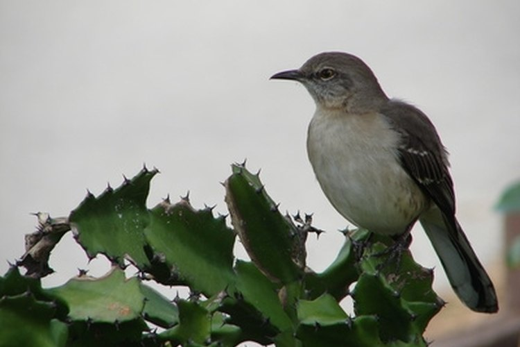 Mockingbirds vigorously defend their territory with aggressive behavior.