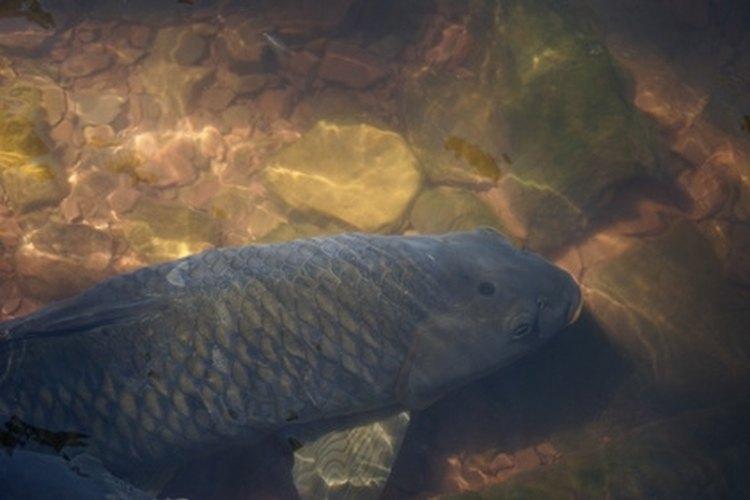Carp are often mistaken for sucker fish.