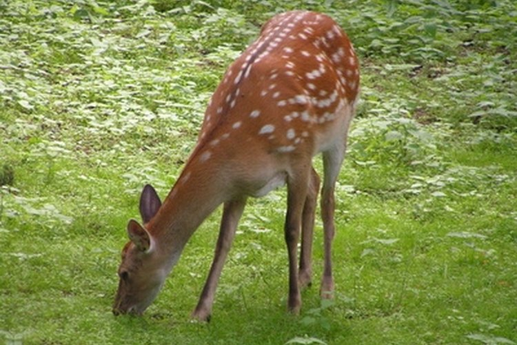 The skin of a deer can be softened into an excellent clothing material.