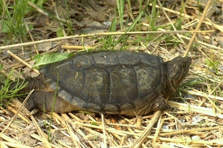 Catching snapping turtles is a common summertime activity in many areas of the United States.