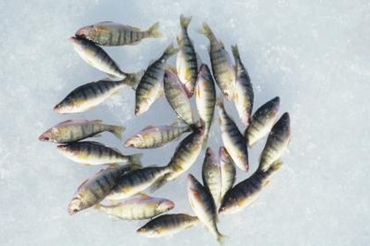 Perch have a long, narrow body shape.
