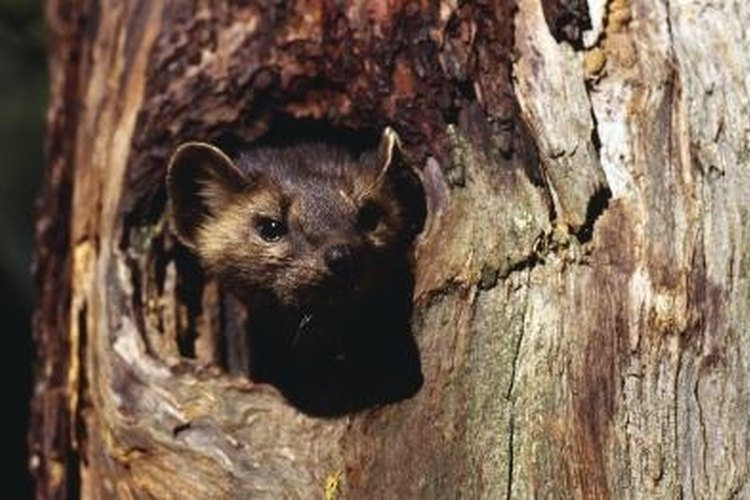 Many people trap weasels for their fur.