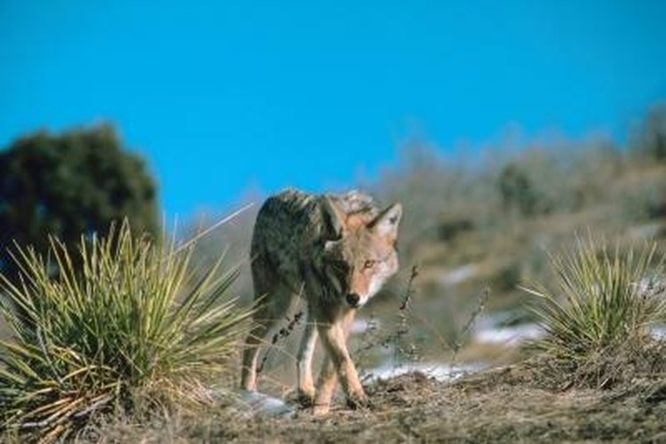 Coyotes follow fence lines using holes in the wire to pass through.