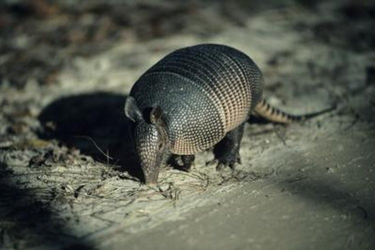 An armadillo might be harboring leprosy, so play it safe.