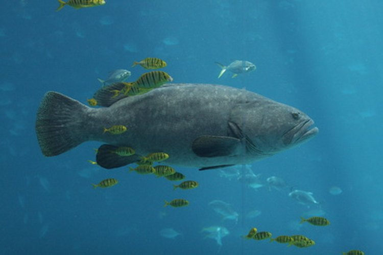 Some types of grouper are protected to prevent over-fishing.