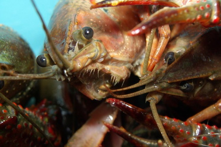 Crawfish are related to lobsters.