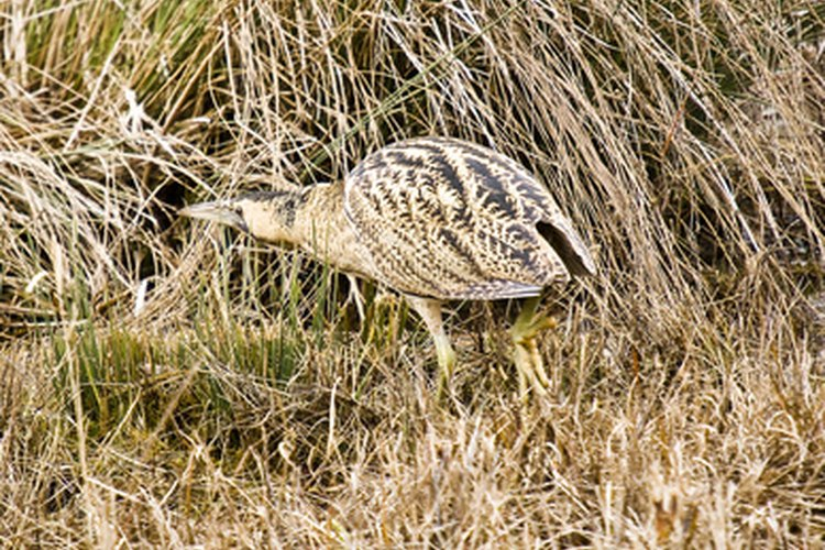 The American bittern is hard to spot due to its protective coloration.