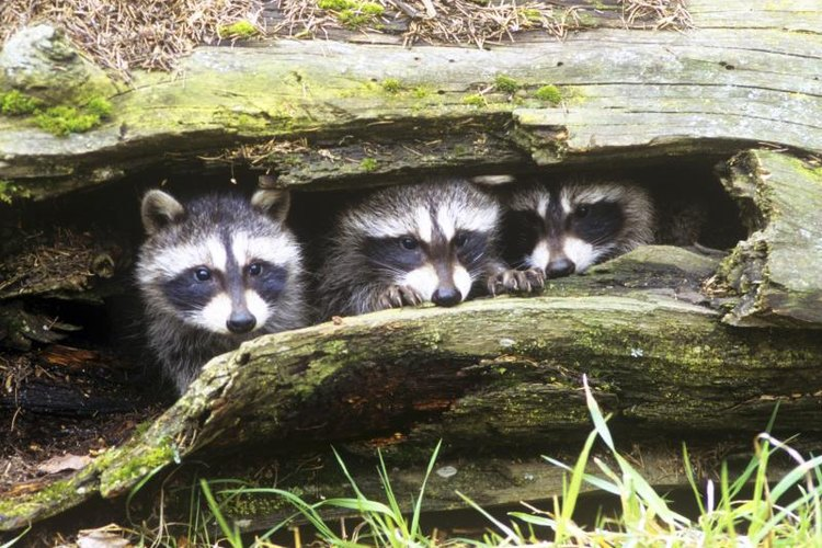 Raccoons hanging out inside of log.
