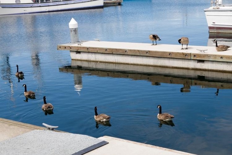 Geese swimming in water and walking on a dock in a marina.