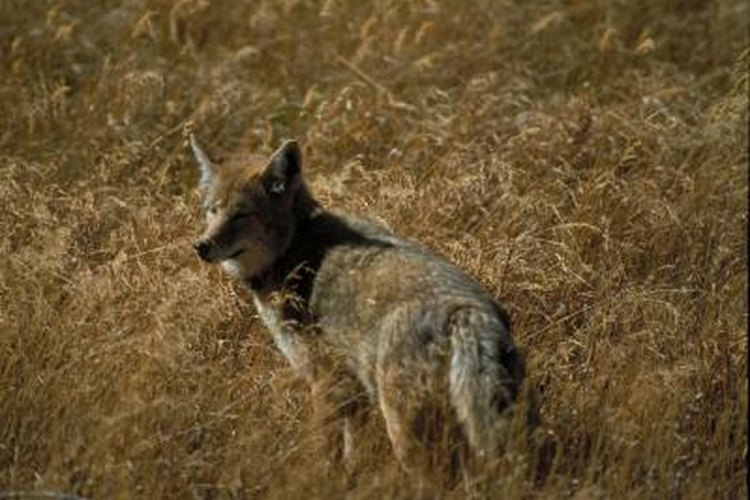 The coyote follows scent in search of food.