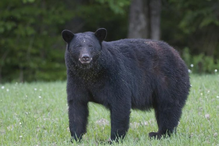 Black bears forage on grass and insects during the spring hunting season.