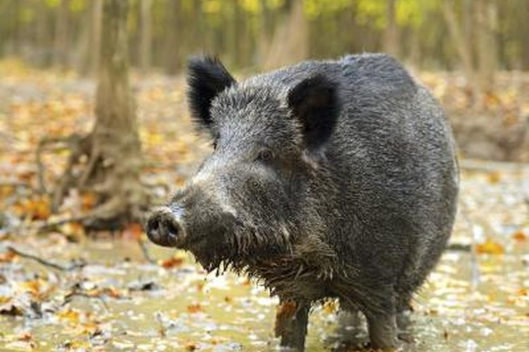 A wild hog walks through a marsh in autumn.