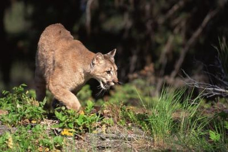 Mountain lions usually avoid people.