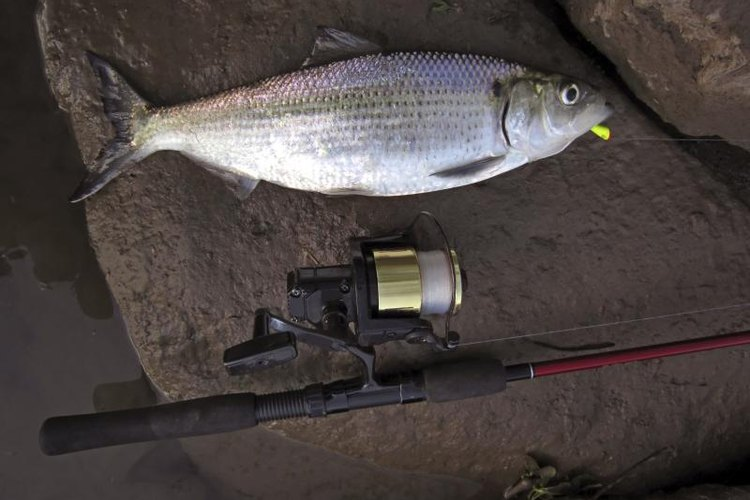 Hickory shad caught on a shad dart in the Potomac River