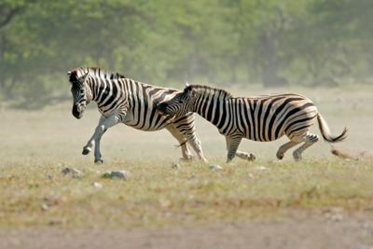 How Fast Can a Zebra Run?