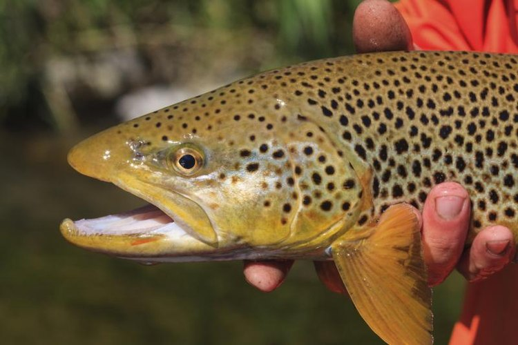Wild brown trout reside in some Southern California streams.