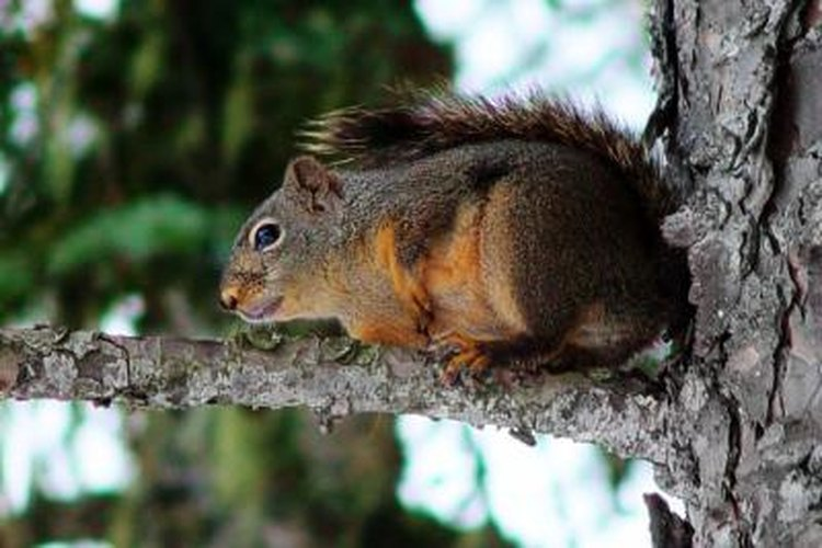 Clicks and chirps help bring in squirrels.