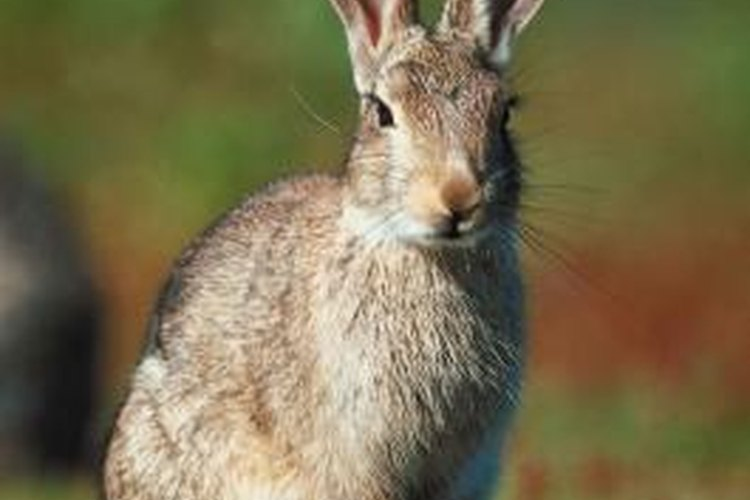 Wild rabbits can be lured by many baits.