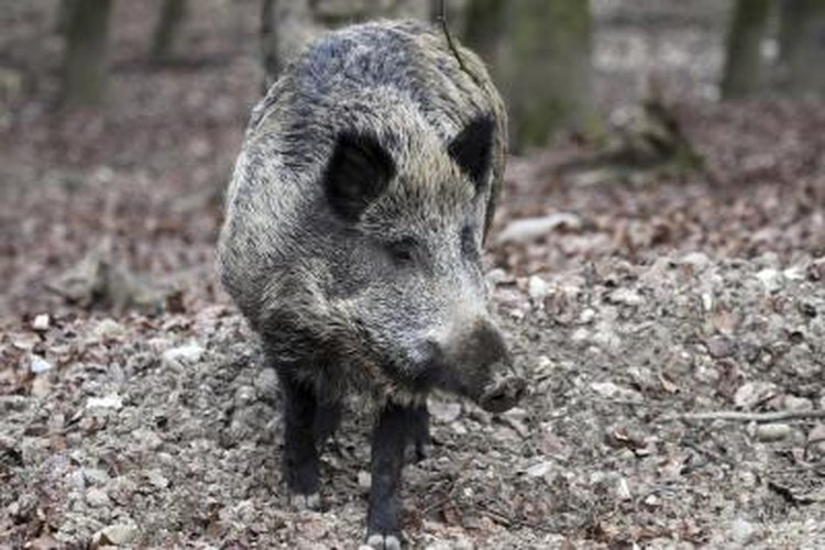 Wild boars like to forage at dawn or dusk.