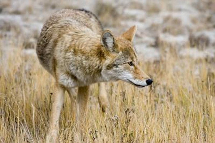 Coyotes are naturally intelligent and suspicious