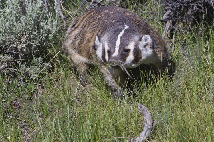 Badgers are sly and can be challenging to trap.