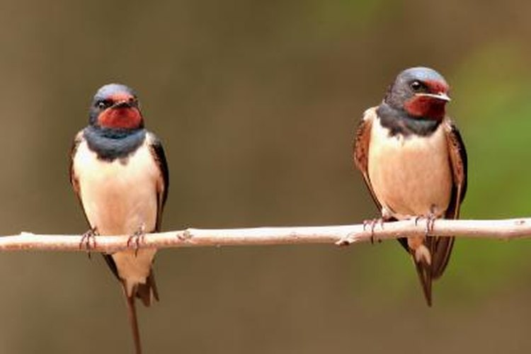 Members of the swallow family build mud nests.