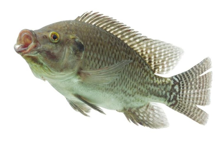 Tilapia have small mouths, so you must use tiny hooks and lures.