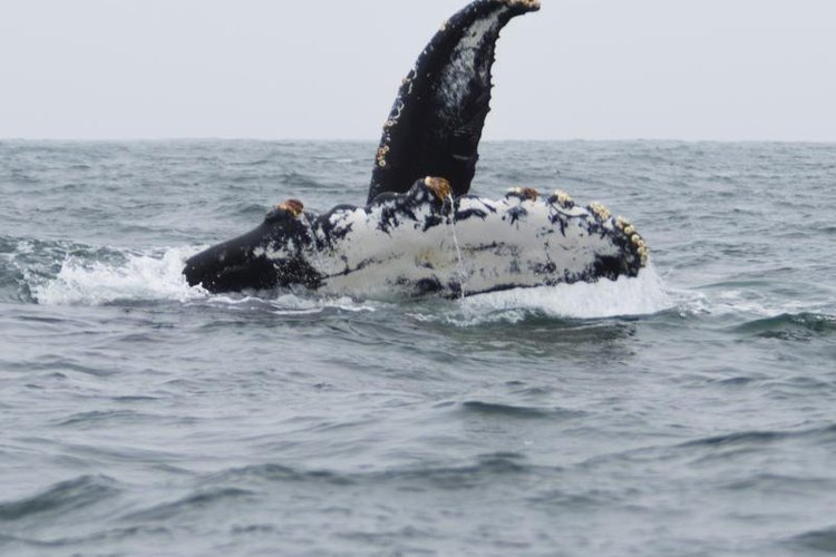 The giant whales of the sea aren't immune to barnacles either.