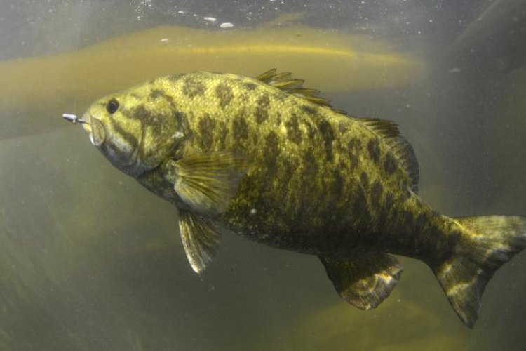 Smallmouth bass swimming underwater.