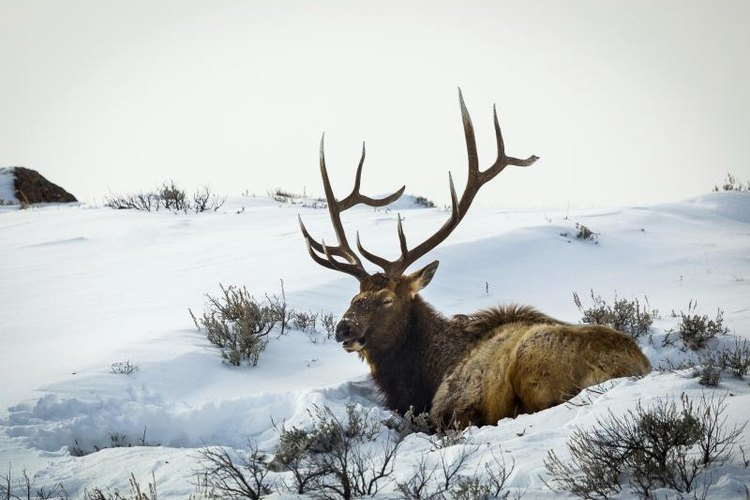 A buck elk resting in the snow.