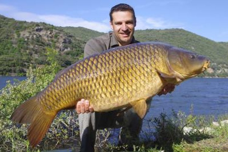 Carp have sharp senses of smell and taste, which makes natural baits more effective than artificial lures.