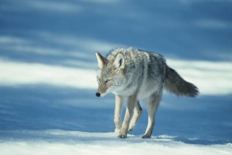 Winter is the prime trapping season for coyotes and foxes.