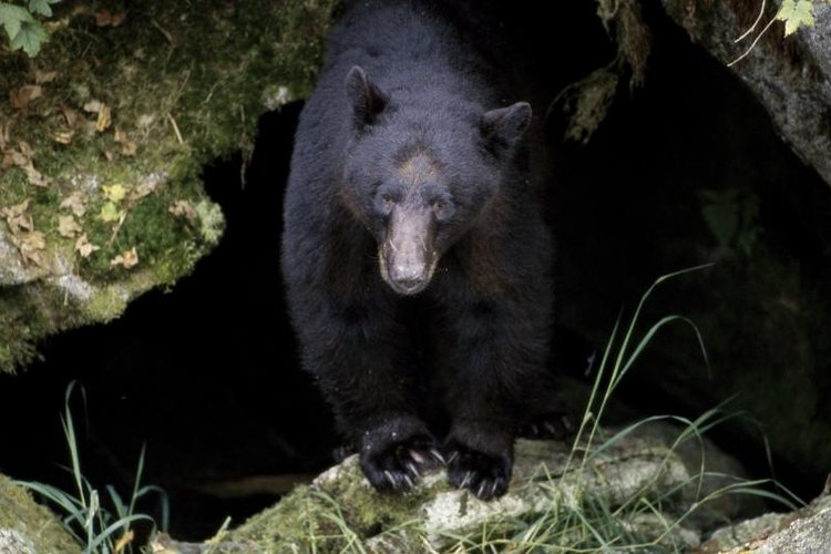 Adult male black bears average 300 pounds, while females weigh half as much.