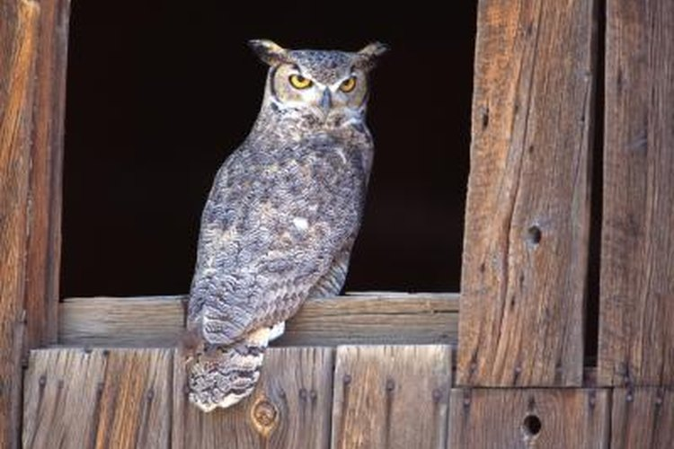 Owls are just one of the many nocturnal animals of North America.