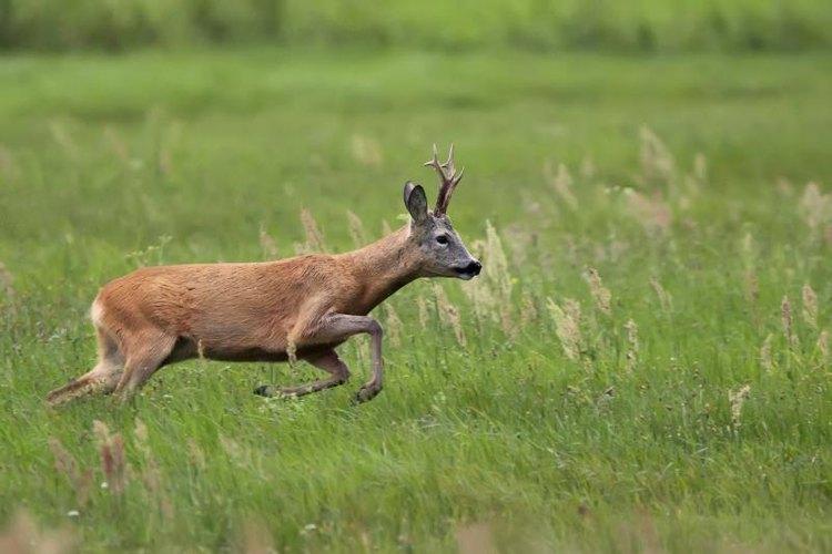Charging deer running through grass.
