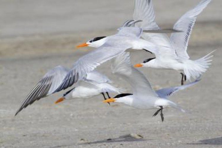 Expect to share your campsite with royal terns.