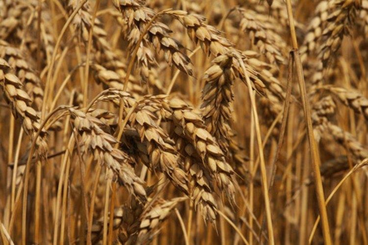 El salvado como puedo de trigo consumir